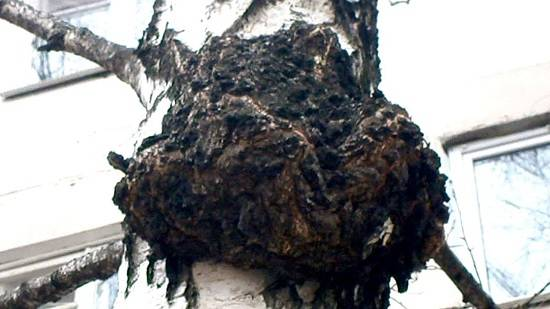 Борьба с вредителями грецкого ореха и лечение растения от болезней. как определить источник поражения?