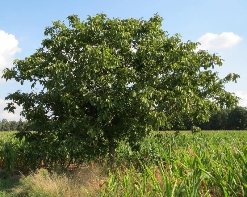 Как выбрать орех для посадки на садовом участке;