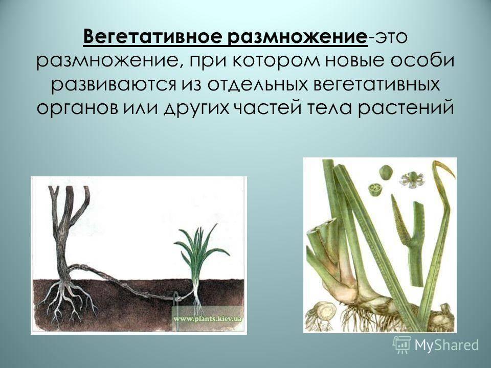 Вегетативный способ размножения: что это в биологии, как осуществляется, пример