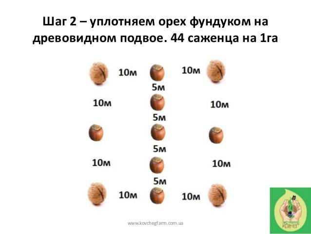 Грецкий орех идеал: описание сорта, условия выращивания и ухода, схема посадки