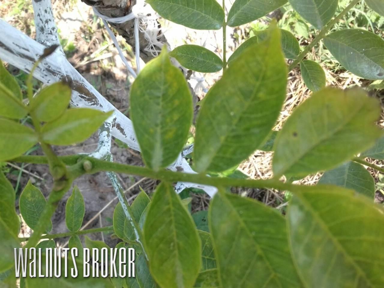 Болезни грецкого ореха и их лечение – советы садоводам