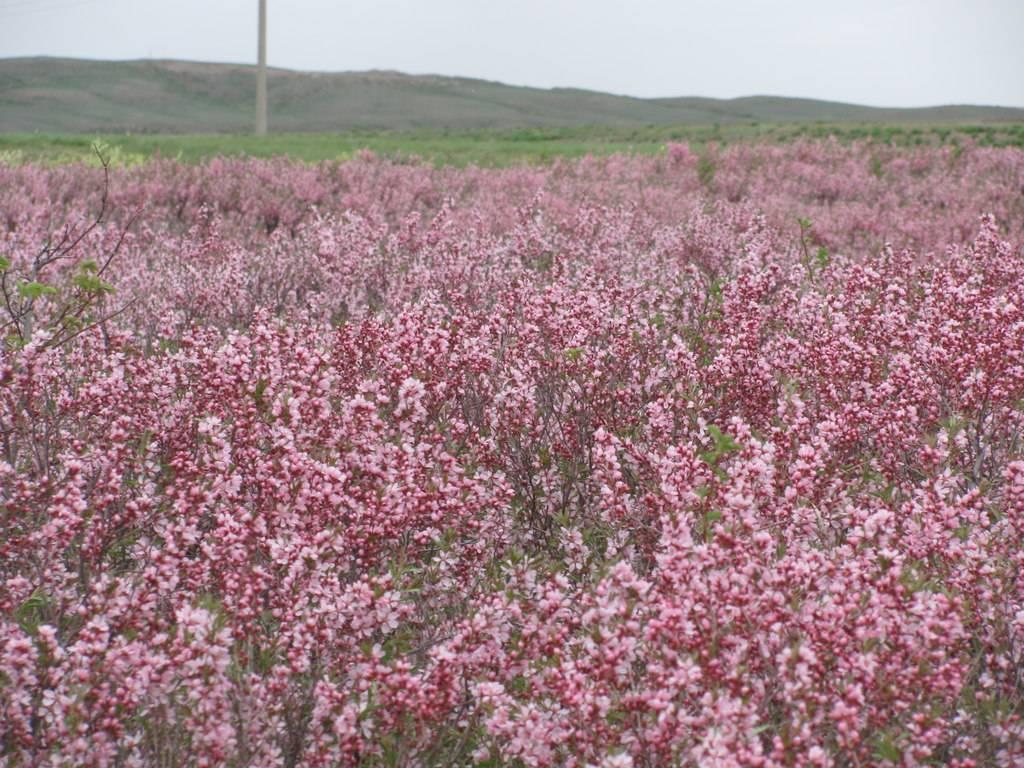 Можно ли вырастить степной миндаль: нюансы выращивания и ухода за бобовником