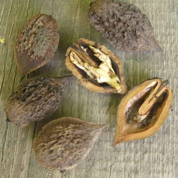Лещина конторта: описание и характеристики сорта, посадка и уход, размножение