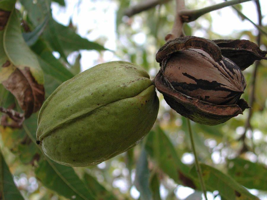 Араукария: интересные факты и условия выращивания