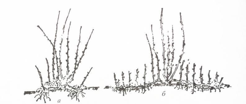 Выращивание фундука: посадка на своем участке садовой формы лещины