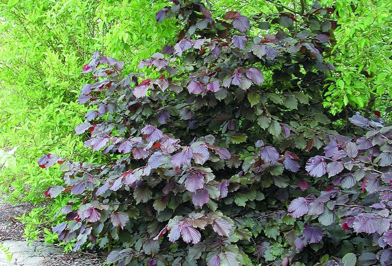Лещина обыкновенная purpurea