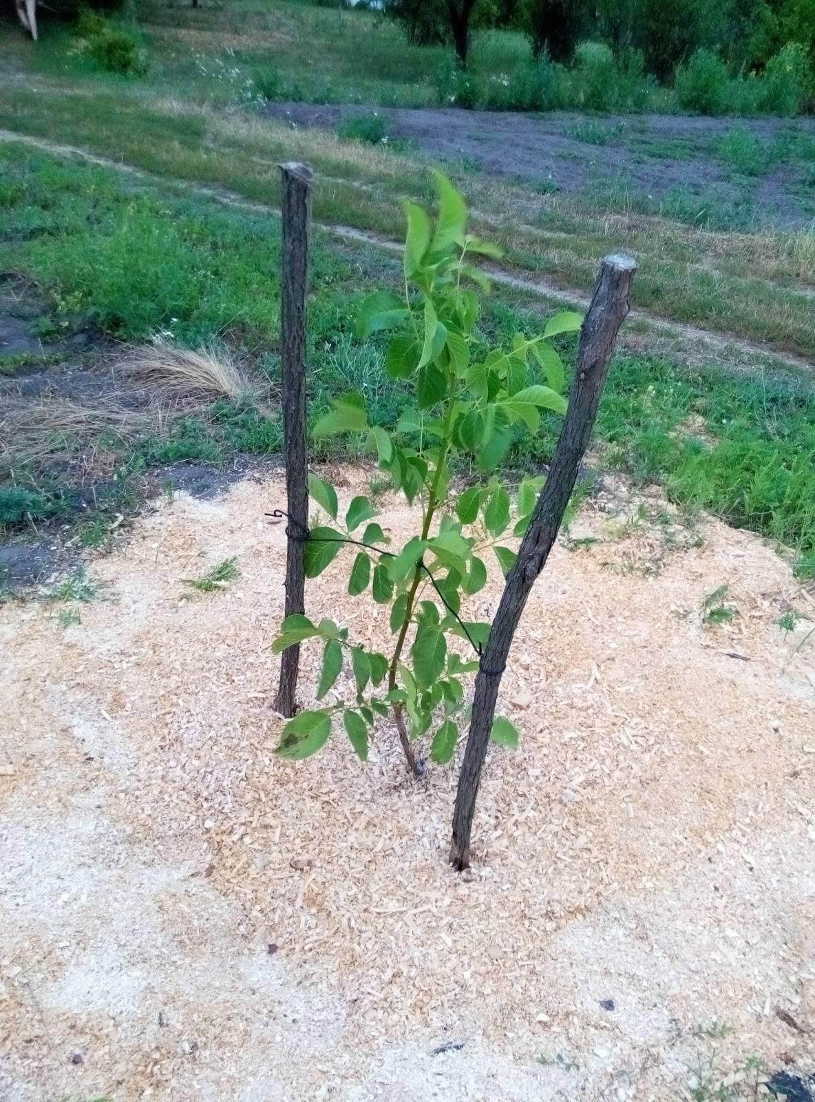 Как и чем укрывать молодые плодовые деревья на зиму: нужно ли обматывать стволы, фото – сад и огород своими руками