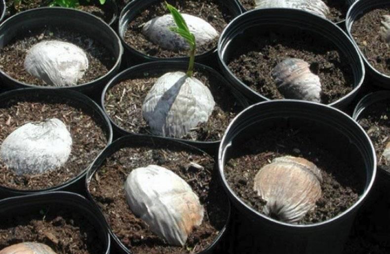 Кокосовая пальма: как растет, выглядит и как посадить кокос