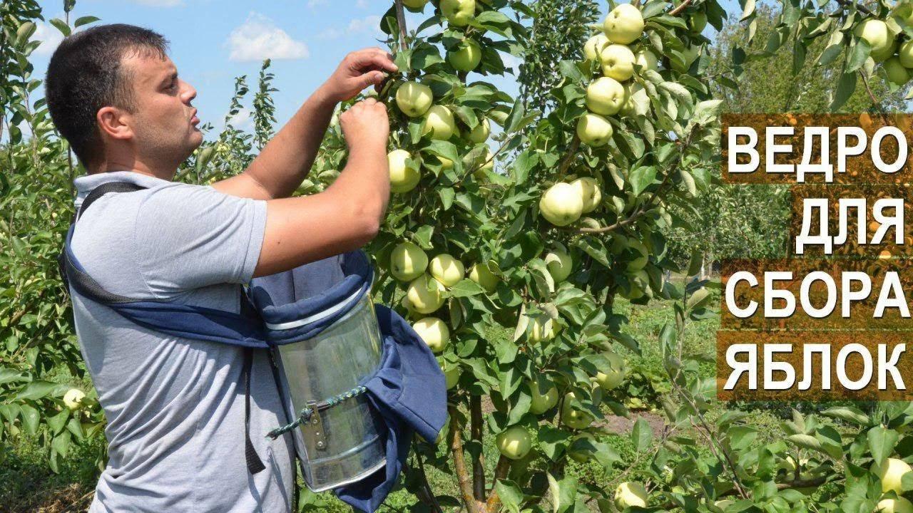 Уборка капусты: сроки, правила сбора урожая и когда убирать ее на хранение по лунному календарю?