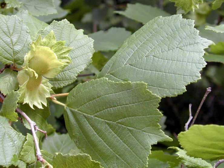 Листья лещины: лечебные свойства и противопоказания