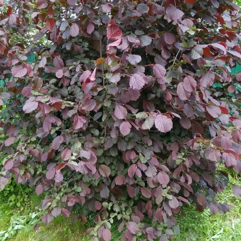 Лещина обыкновенная: посадка и уход, описание дерева + фото