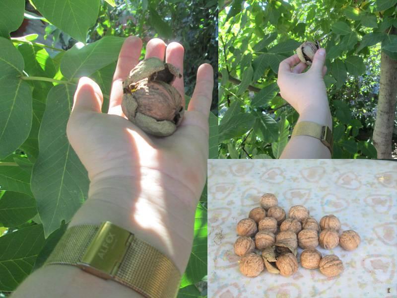 Выращивание фундука в подмосковье и иных регионах средней полосы россии: растет ли, и посадка, лучшие сорта и особенности ухода