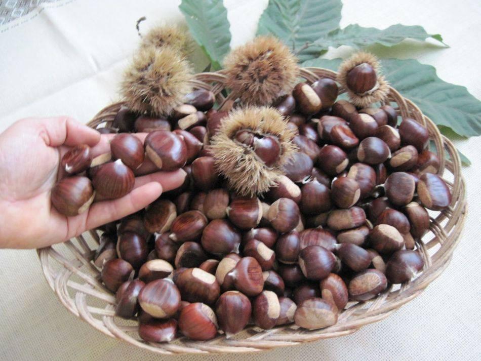 Плоды каштана: лечебные и полезные свойства, как правильно едят каштаны.