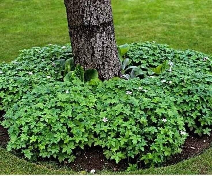 Какие растения можно посадить под деревьями в саду — секреты цветоводов