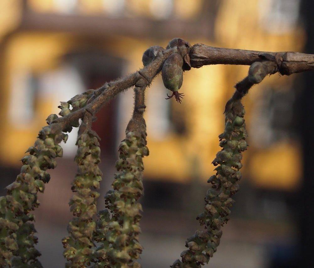 В чём разница между лесными орехами: лещиной и фундуком