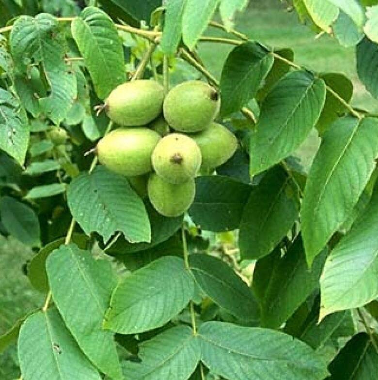 Королевский орех пекан: выращиваем на участке экзотический орех