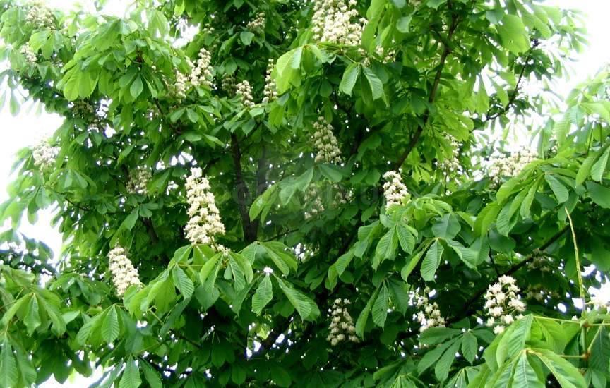 Где же растёт красивое дерево каштан?