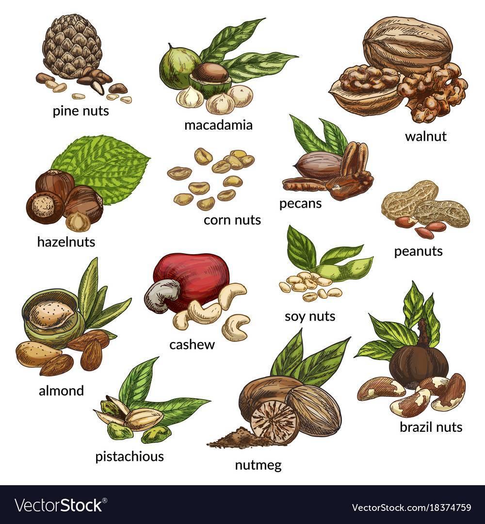 Орехи – польза и вред, применение в народной медицине