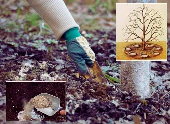Осенняя подкормка плодовых деревьев, удобрения для молодых кустарников