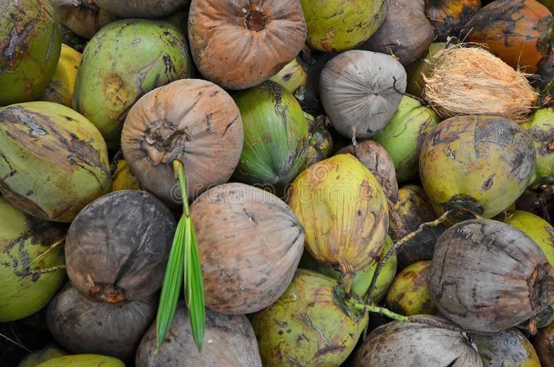 Виды кокосов: какие бывают сорта, сколько всего разновидностей существует, как выбрать?
