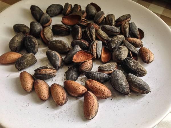 Горький миндаль: отличие от сладкого, полезные свойства горький миндаль: отличие от сладкого, полезные свойства