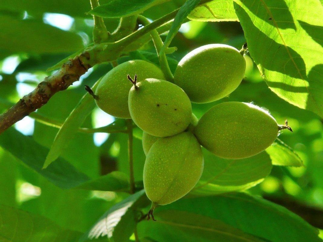 Маньчжурский орех: описание, посадка, советы по выращиванию и уходу за деревом