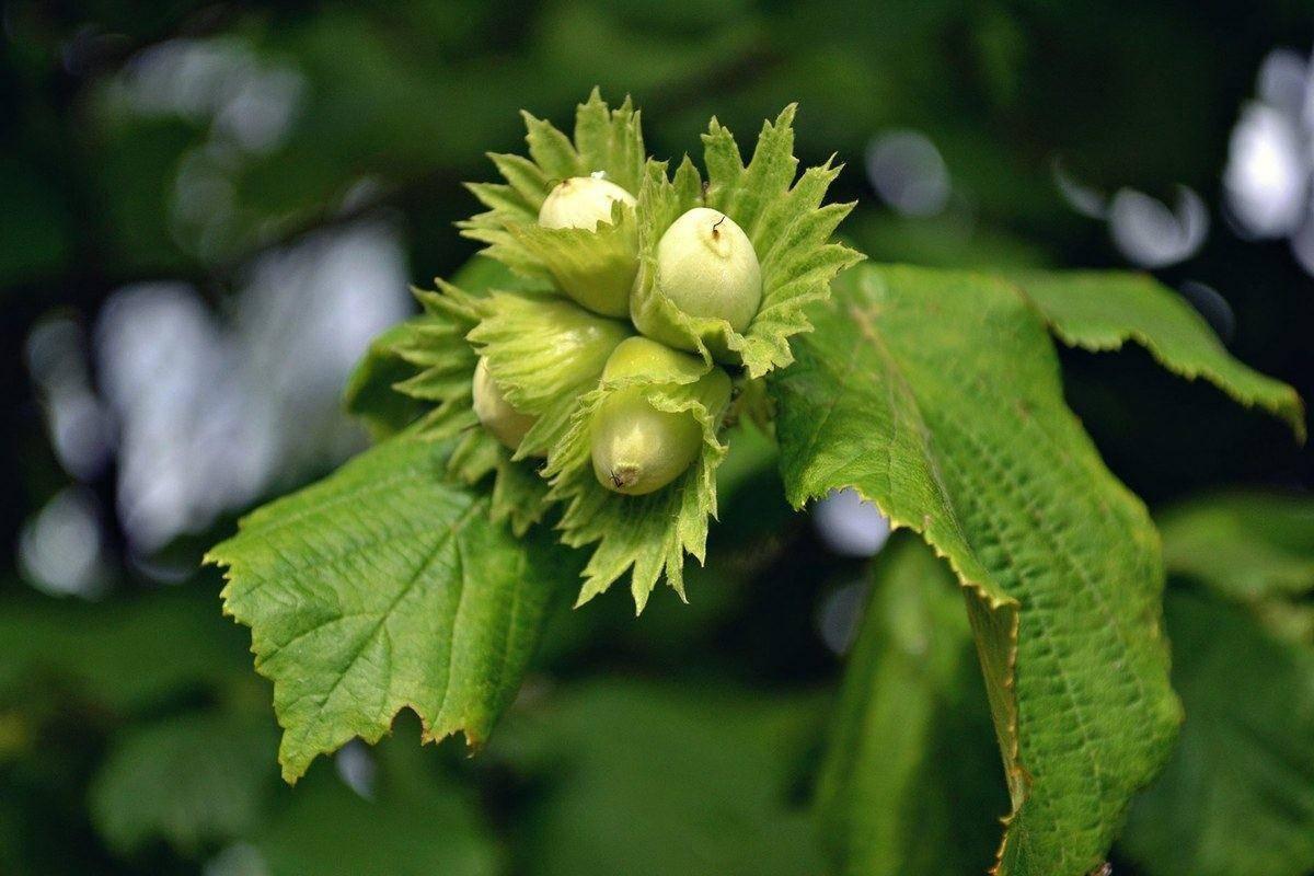 Листья фундука от варикоза. полезные свойства и противопоказания лещины