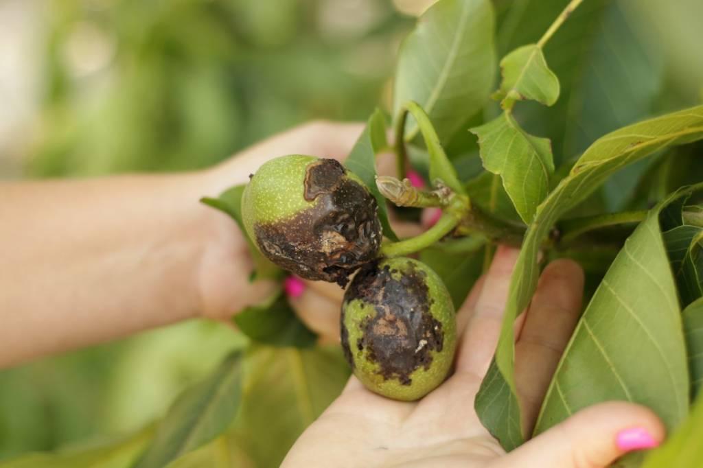 Грецкий орех: болезни листьев и их лечение, фото