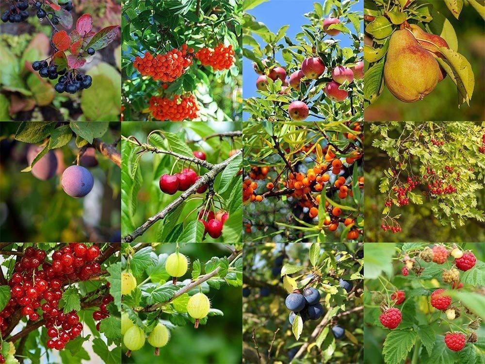 Нетрадиционные плодовые и ягодные культуры для приусадебного садоводства. — floraprice.ru