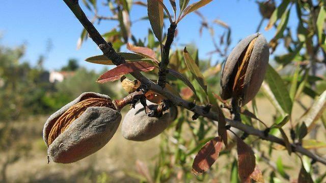 Выращивание миндаля – перенимаем знания опытных садоводов