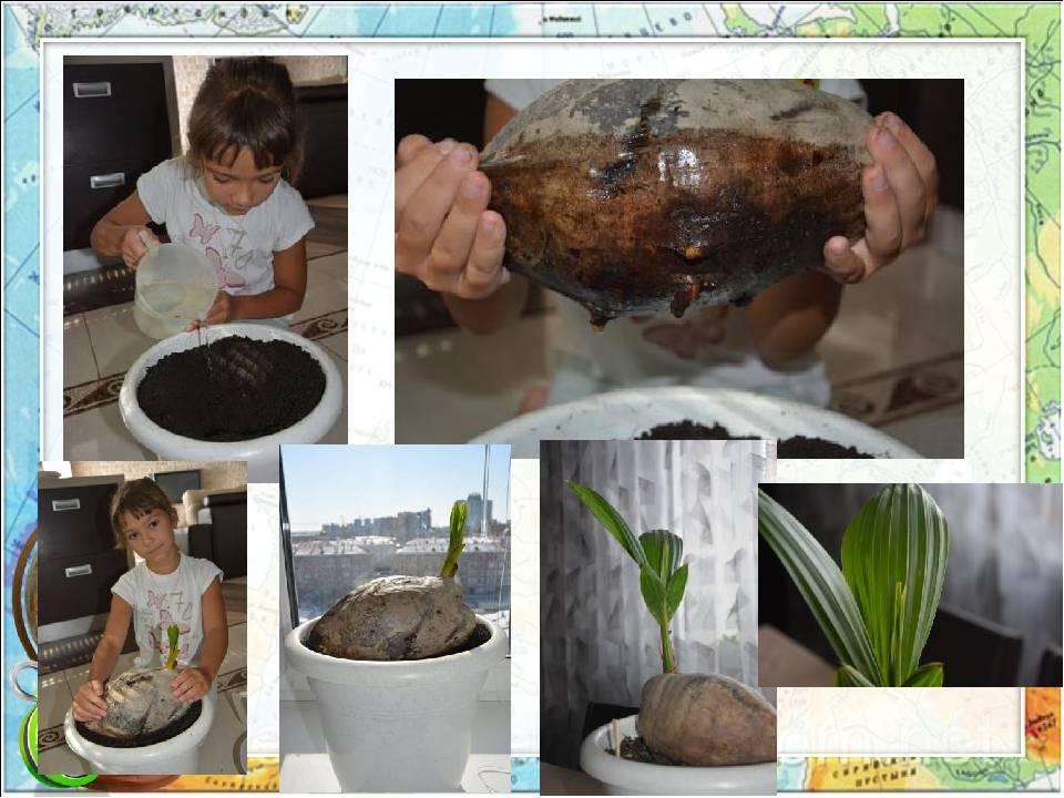 Как вырастить и посадить кокос в домашних условиях