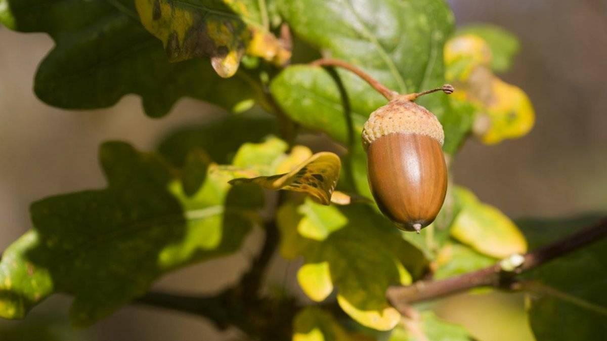 Как вырастить дуб из желудя.   здоровое питание