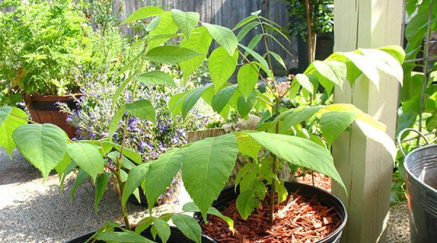 Посадить грецкий орех осенью: как правильно посеять семенами в осеннее время, чтобы вырастить дерево из плода, каковы правила ухода и сроки получения первого урожая?