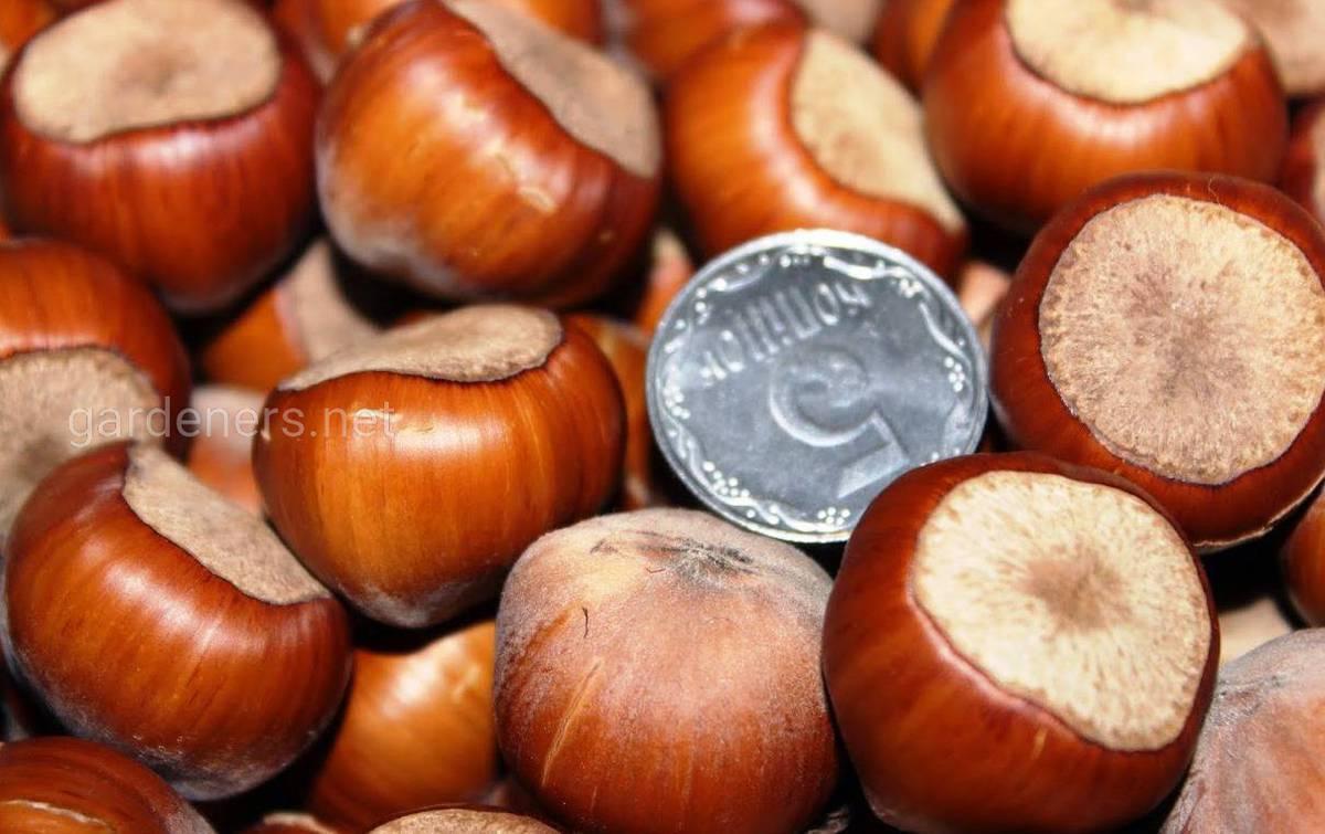 Фундук трапезунд: описание сорта и особенности выращивания   огородники