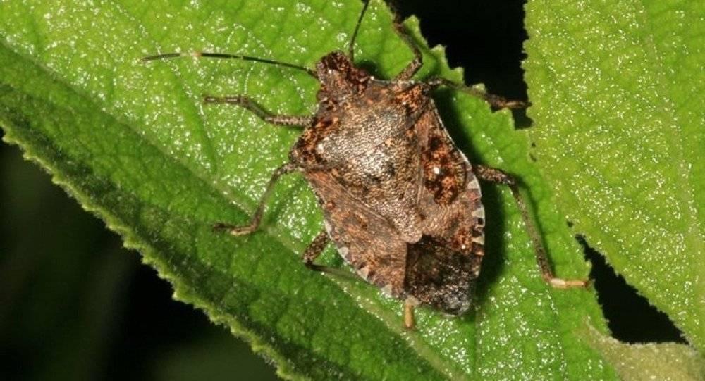 Мраморный клоп насекомое. описание, особенности, виды и способы борьбы с вредителем   живность.ру