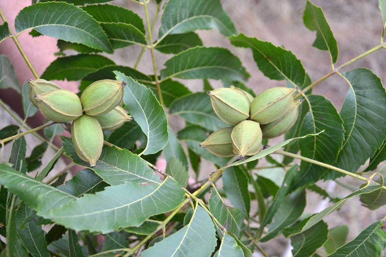 Как и где растет орех пекан? Правила и секреты выращивания и сбора урожая