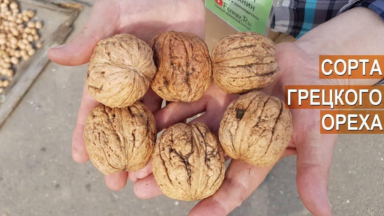 Сорта грецкого ореха: 20 лучших видом с описание и характеристиками + фото