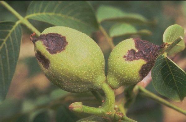 Основные болезни грецкого ореха