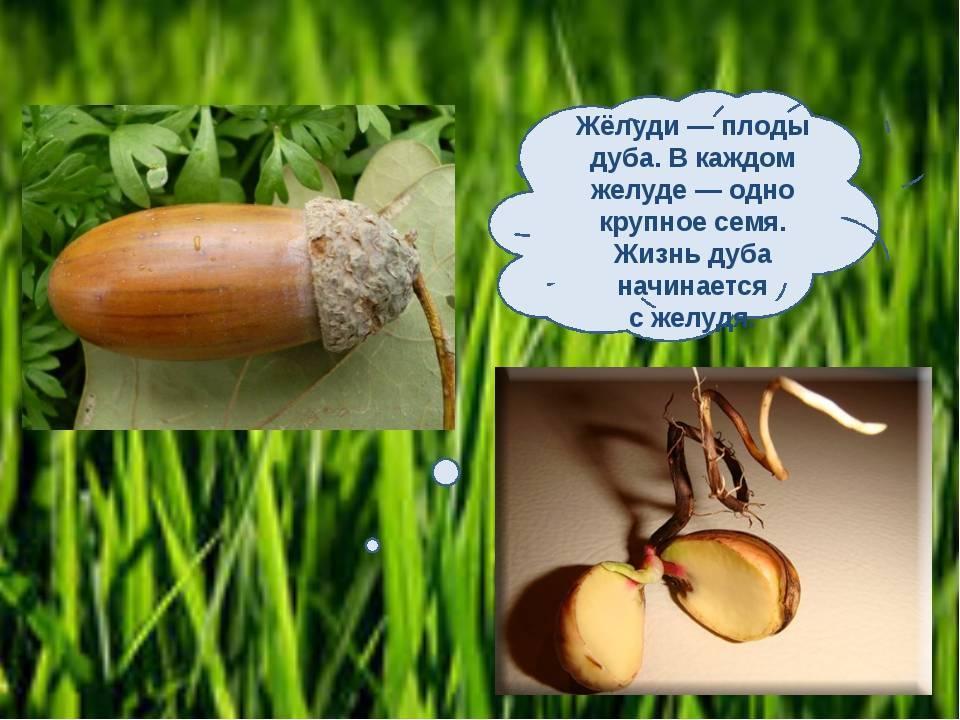 Желуди: польза и вред, рецепты блюд с плодами дуба. применение желудей в народной медицине