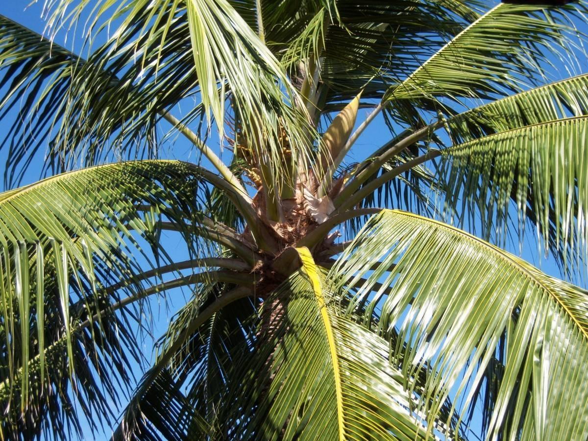 Кокосовая пальма — википедия. что такое кокосовая пальма