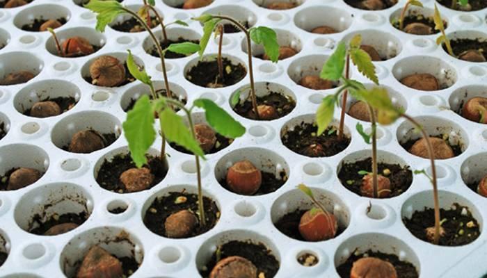 Правила выращивания ореха: как посадить, каким должен быть уход и иные вопросы