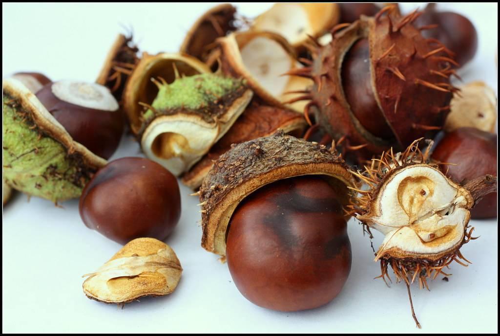 Экзотика в саду: съедобный каштан — портал ореховод