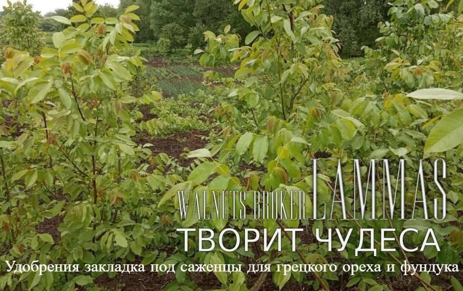 Что делать с опавшими листьями грецкого ореха