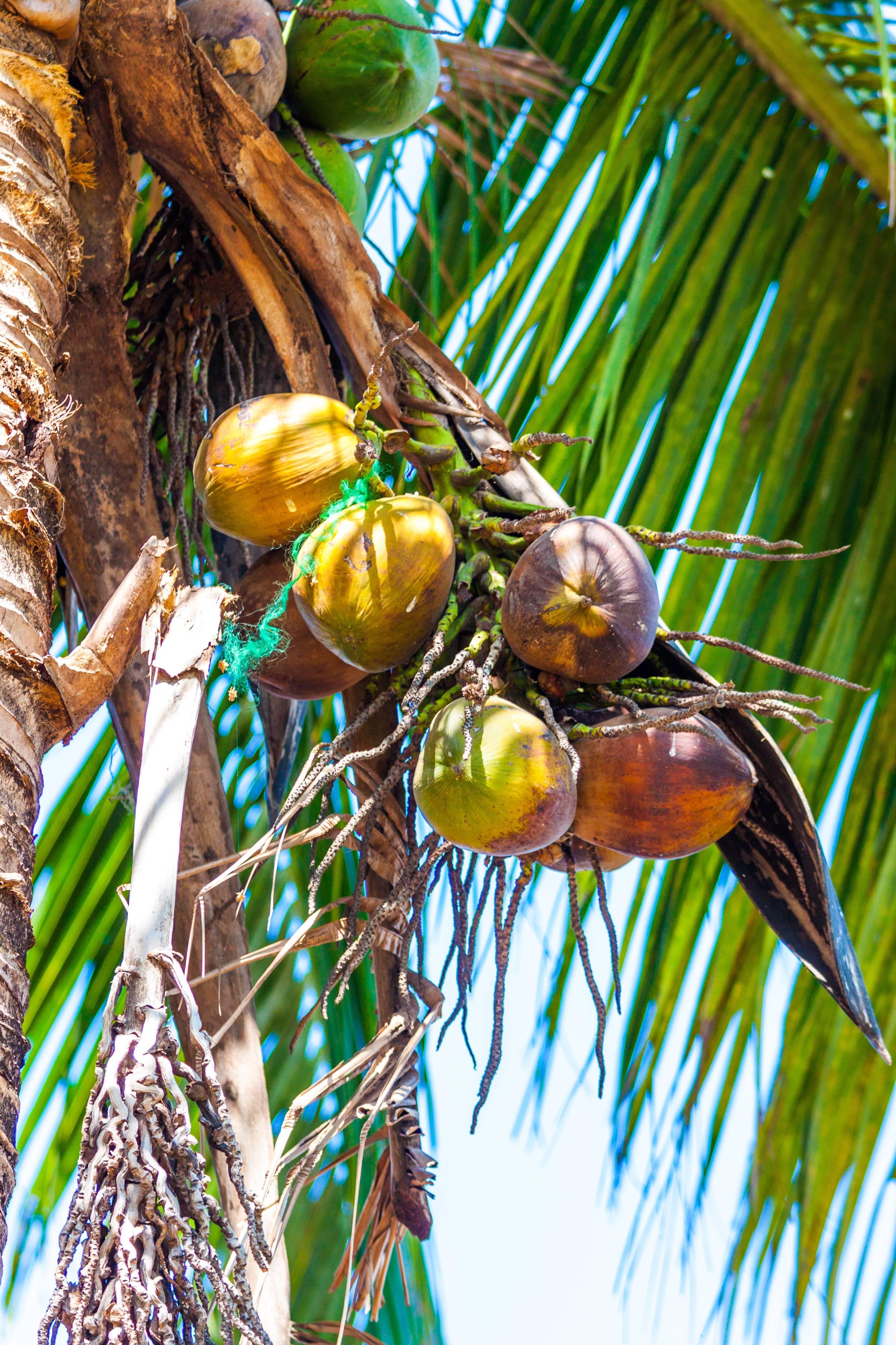 Кокосы - это орехи, фрукты и семена.