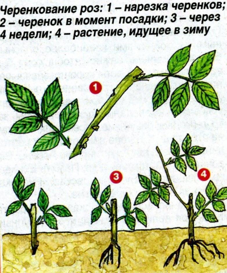 Размножение замиокулькаса черенками в домашних условиях: пошаговая инструкция, как правильно разводить долларовое дерево с помощью ветки (стебля) в воде или в грунте