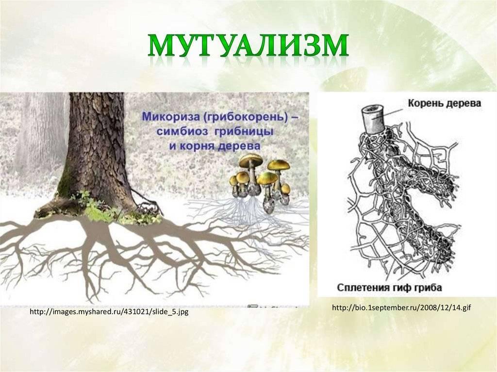 Корневые симбиозы. микориза
