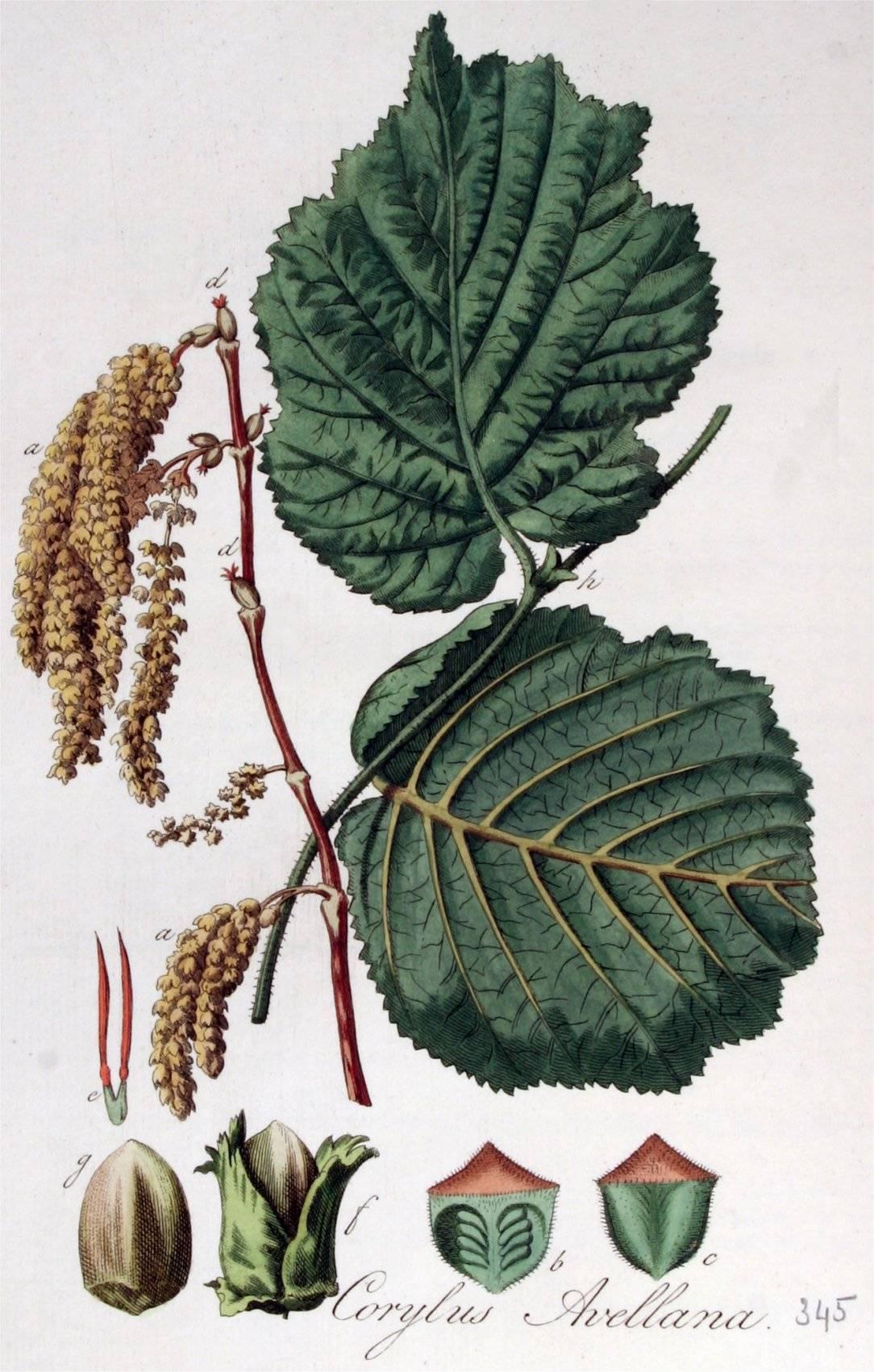 Осоед (pernis apivorus): описание, размножение, виды, фото, голос