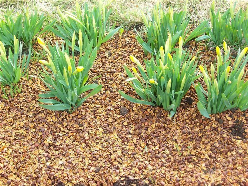 Есть ли применение в саду или огороде отходам зеленого грецкого ореха - 7ogorod.ru