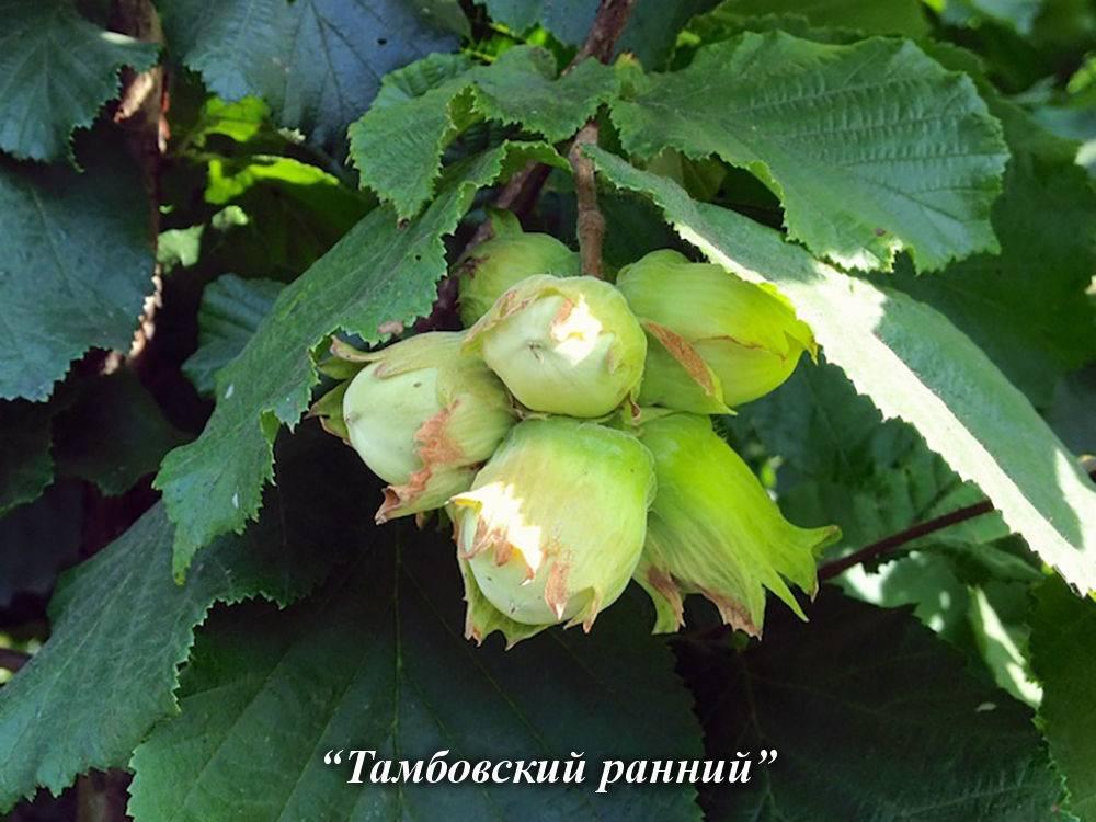 Фундук в Подмосковье