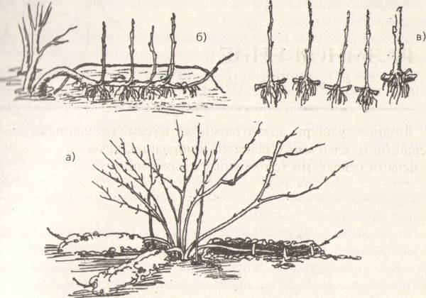 ✅ размножение фундука черенками: способы рассаживания, черенкование в домашних условиях - tehnoyug.com